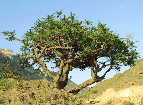 Дерево йохімбе