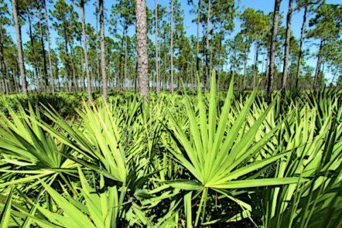 Карликова пальма