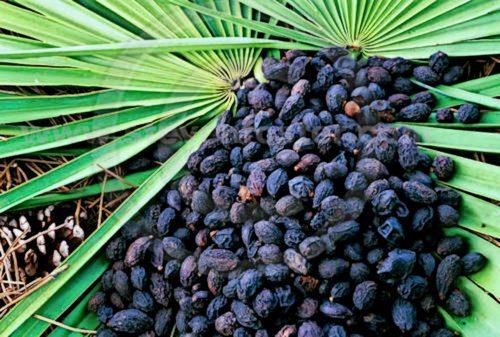 Плоди карликової пальми